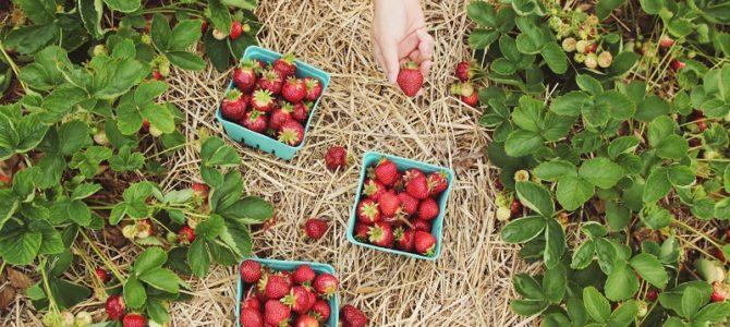 Michigan Berry Farms